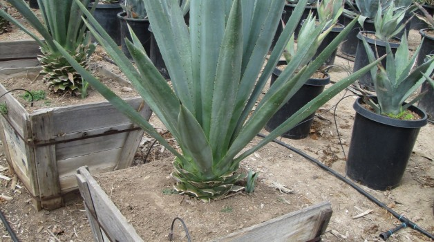 Agave tequiliana