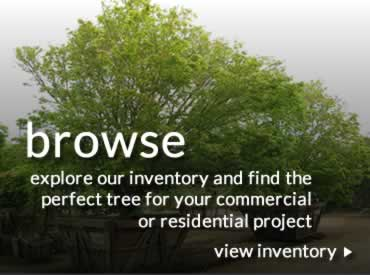 browse - explore our inventory and find the perfect tree for your commercial or residential project